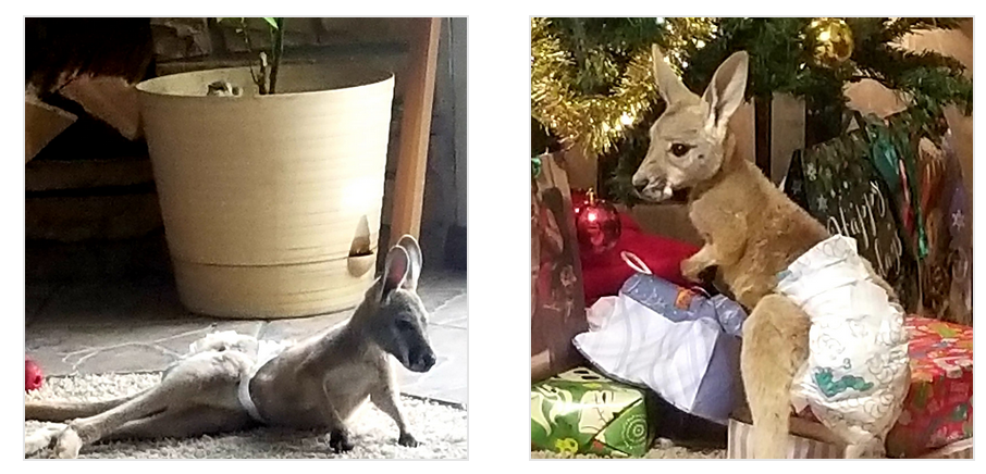 Eve and Roo our baby kangaroos